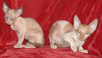 cornish rex cattery
