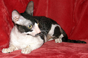 adult cornish rex